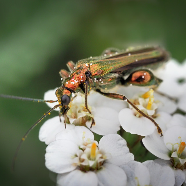 """Thick Legged Flower Beetle"" stock image"
