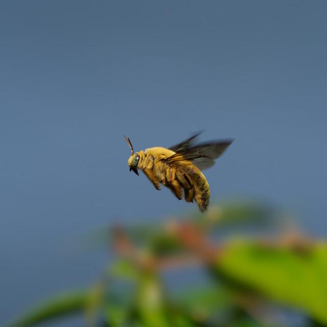 """White-Cheeked Carpenter Bee (male)"" stock image"