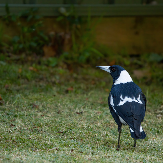 """The Australian Magpie"" stock image"