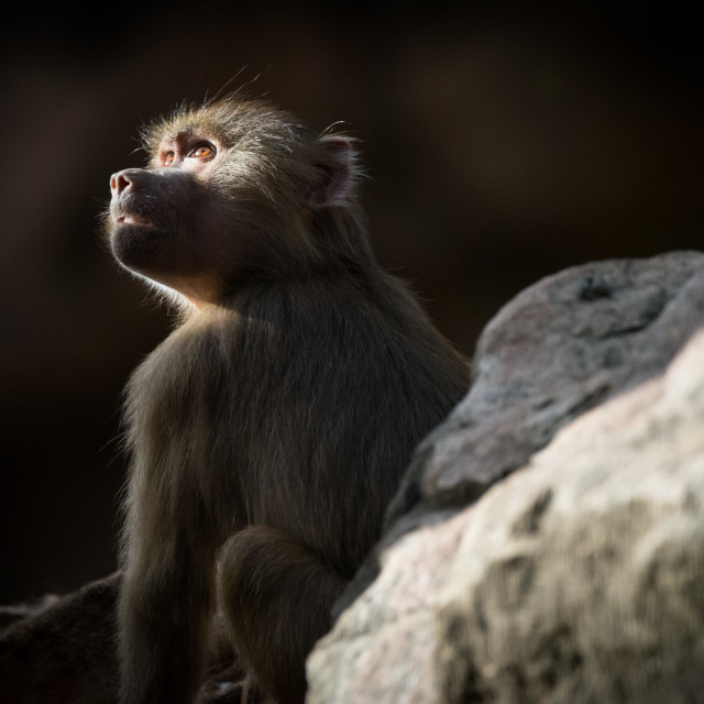 """Young Hamadryas Baboon Catching Sunbeam"" stock image"