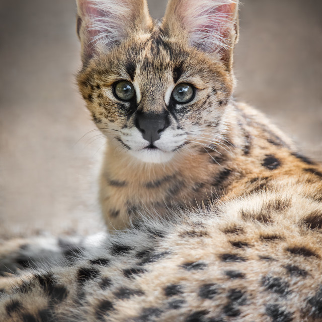 """Serval Kitten"" stock image"