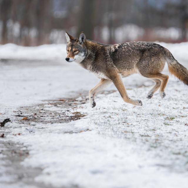 """Eastern Coyote In Urban Park"" stock image"
