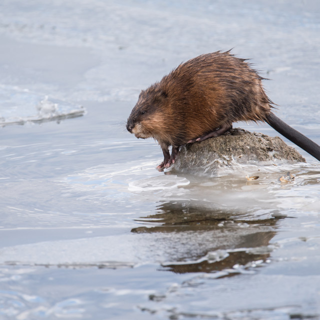 """Muskrat On Frozen Lake"" stock image"