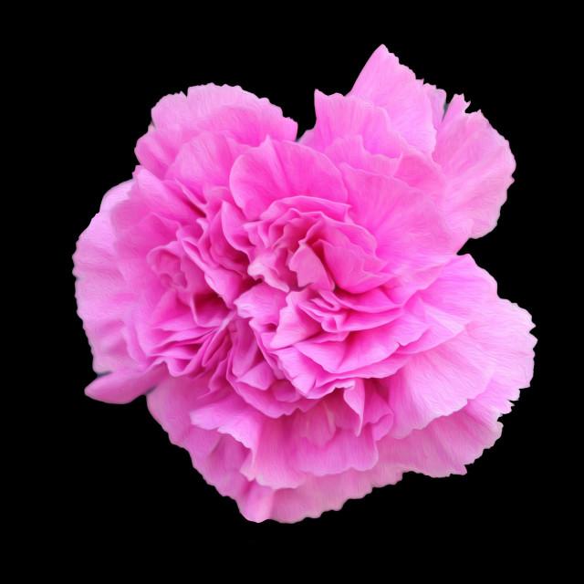 """""""Carnation"""" stock image"""