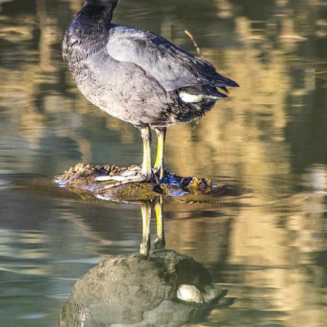 """""""American Coot"""" stock image"""