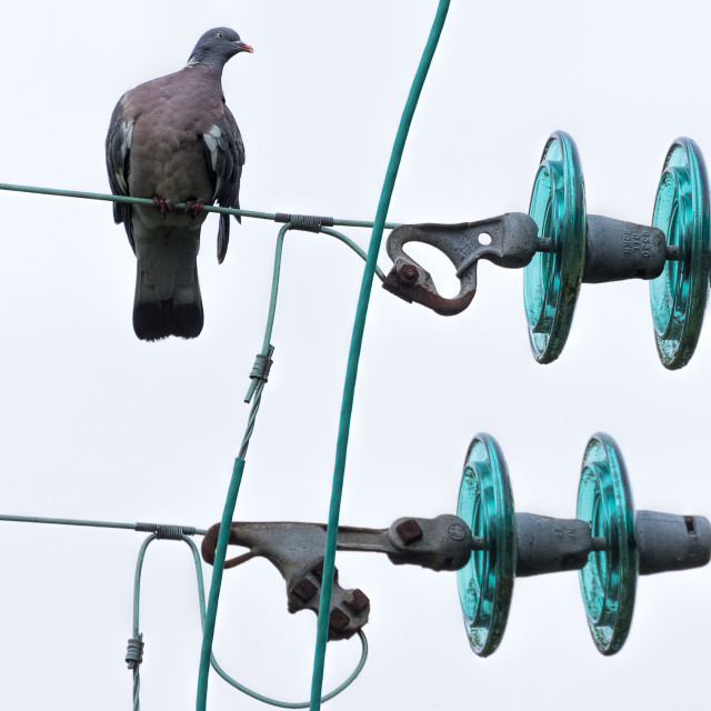"""Woodpigeon on electric wires"" stock image"