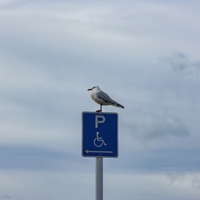 """""""seagull resting"""" stock image"""