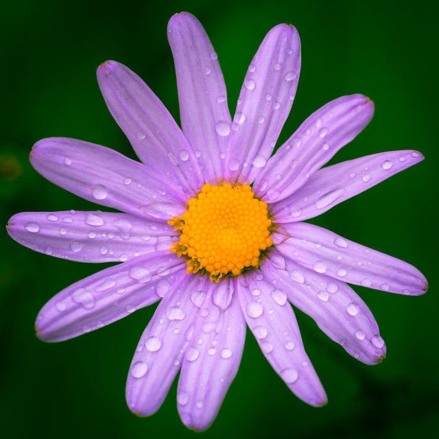 """""""Purple Flower covered in Dew"""" stock image"""