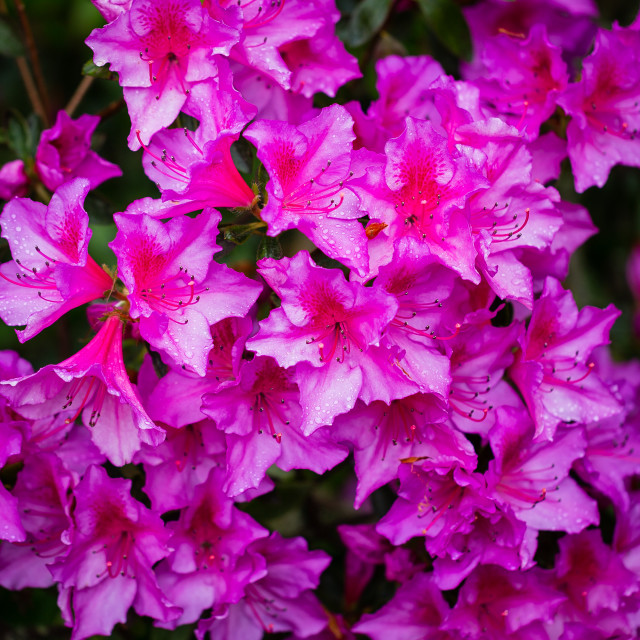 """""""Pink flowers - St Marys"""" stock image"""