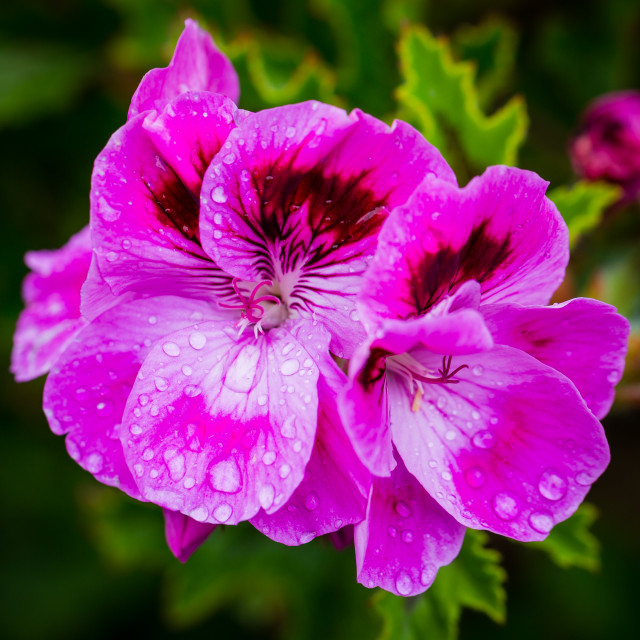 """""""Pink Flowers in Early Morning Dew"""" stock image"""