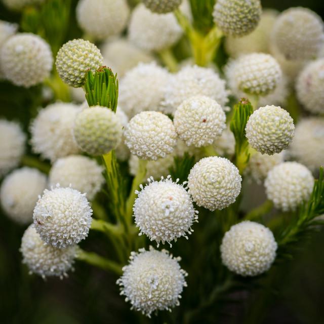 """Cluster of White Ball Like Flowers"" stock image"