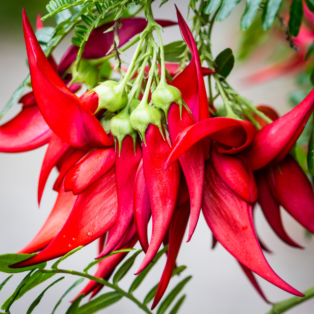 """""""Unusual Red Flower Heads"""" stock image"""