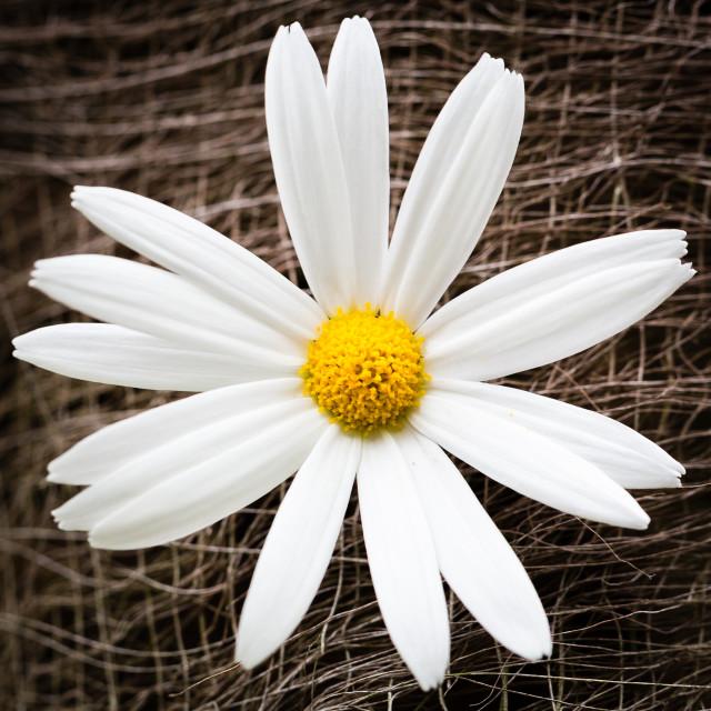 """""""Large Daisy Like Flower"""" stock image"""