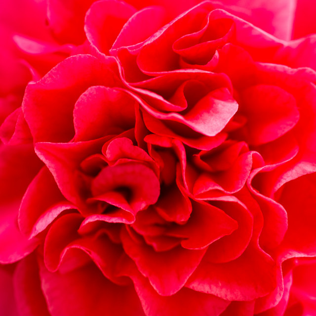"""""""Close Up of Red Flower"""" stock image"""