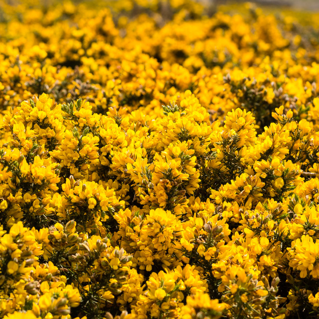"""""""Gorse Bushes In Flower"""" stock image"""