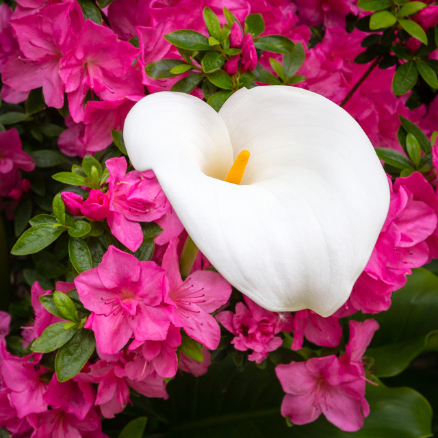 """""""Arum Lily Amongst Pink Flowers"""" stock image"""