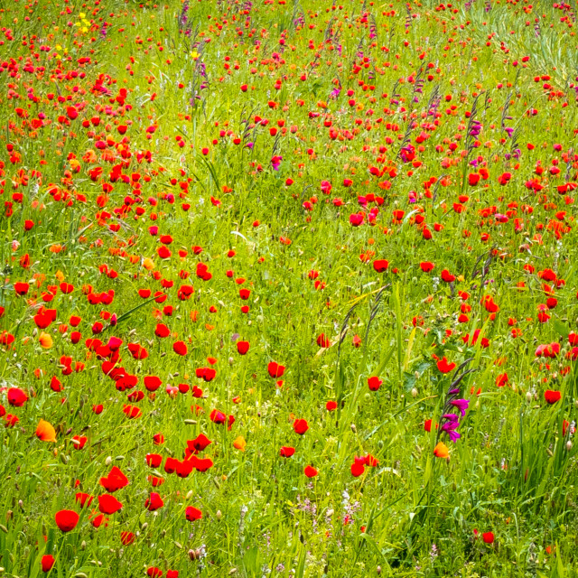 """""""Meadow with flowering Poppies"""" stock image"""