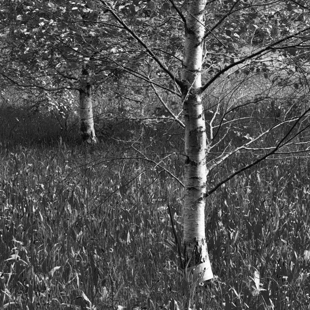"""""""Unspoilt. Birch Trees and Long Grass"""" stock image"""