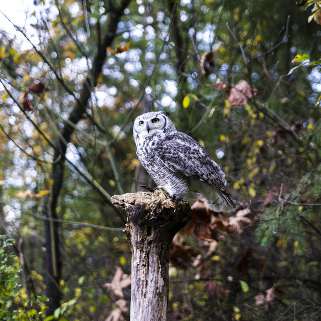 """Northern Hawk Owl"" stock image"