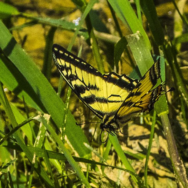 """""""Butterfly In Flight"""" stock image"""