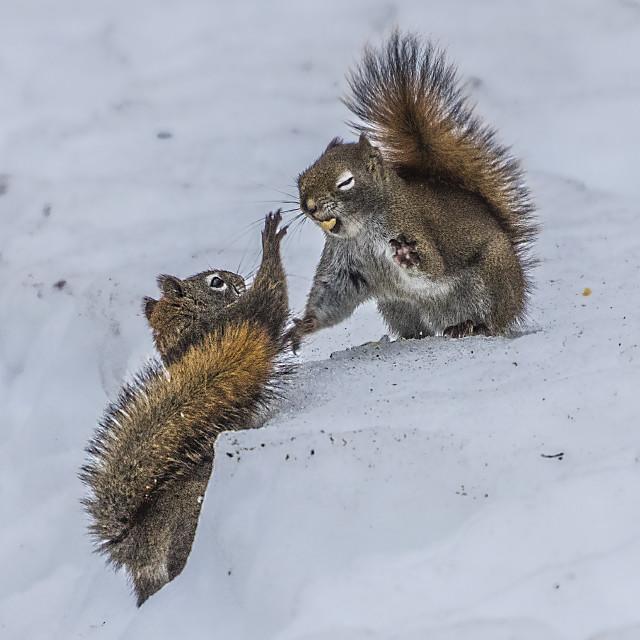 """Fighting Squirrels"" stock image"