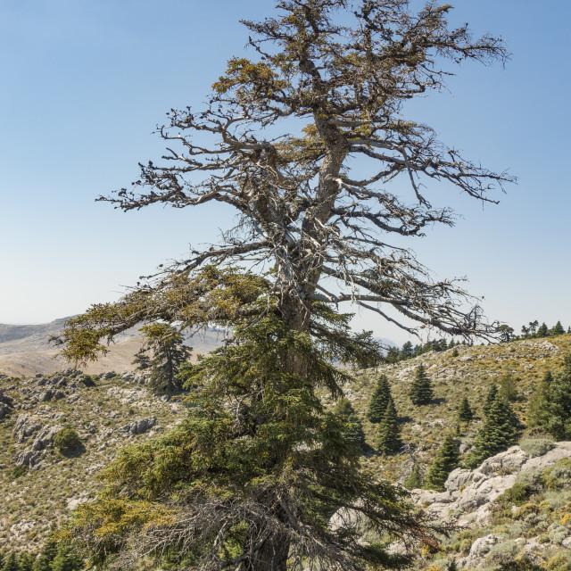 """""""Rare Spanish fir tree (Abies pinsapo)"""" stock image"""