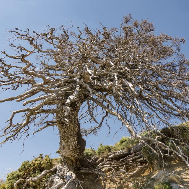 """Dead trunk of rare Spanish fir tree (Abies pinsapo)"" stock image"