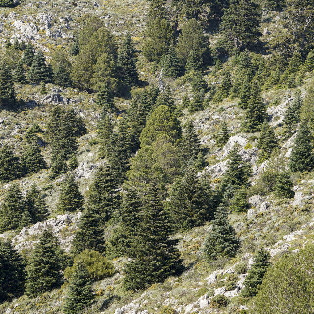 """""""Forest of Rare Spanish fir tree (Abies pinsapo) in mountains."""" stock image"""