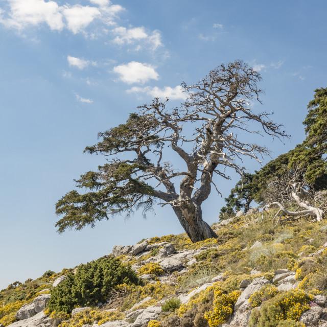 """Trunk of rare Spanish fir tree (Abies pinsapo)"" stock image"