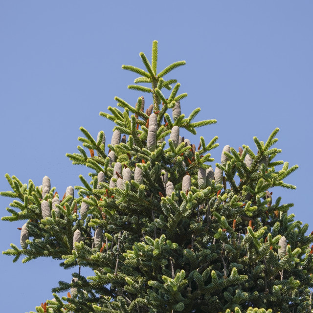 """""""Foliage of a Spanish fir (Abies pinsapo) with cones"""" stock image"""