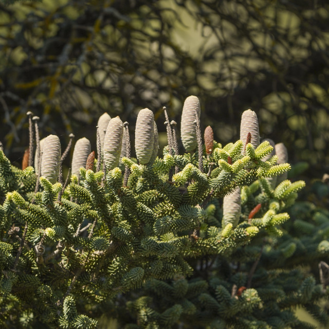 """""""Detail of Foliage of a Spanish fir (Abies pinsapo) with cones"""" stock image"""
