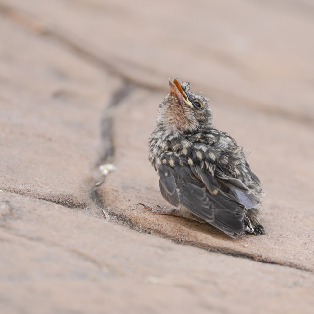 """""""Young bird fallen out of nest, Spotted flycatcher"""" stock image"""