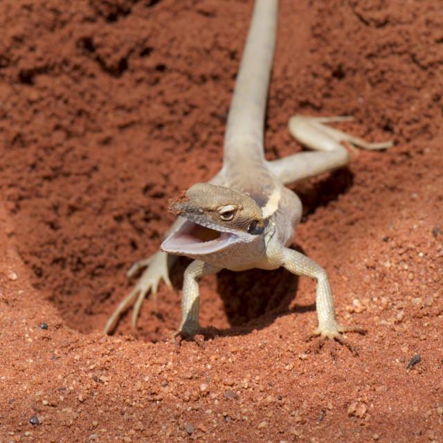 """Red Desert lizard , Northern Territory Australia"" stock image"