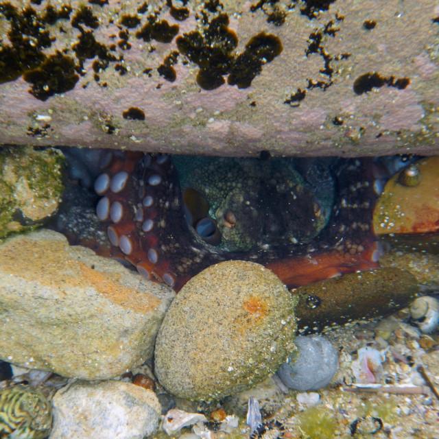 """""""Octopus hiding beetween rock and shells"""" stock image"""