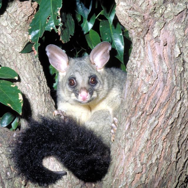 """Possum on a tree at night"" stock image"