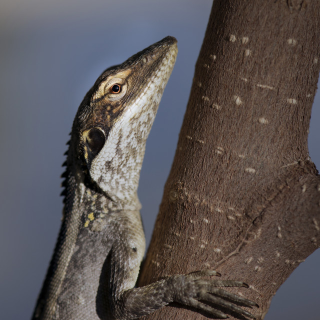 """Dragon lizard close up on a tree - Australia Red Centre"" stock image"