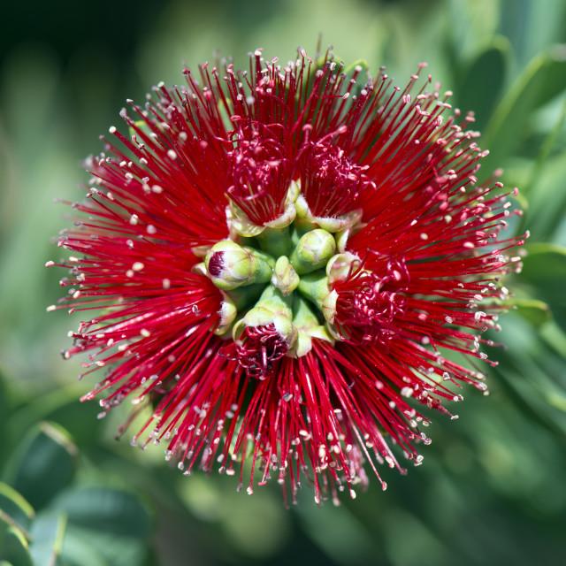 """""""Bottle Brush flower - Red Centre Australia"""" stock image"""