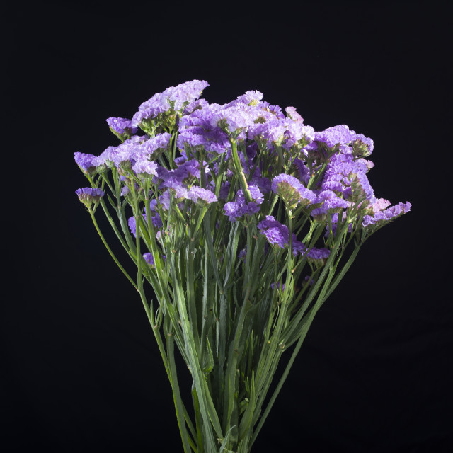 """Bunch of purple lavender flowers on black bacground"" stock image"