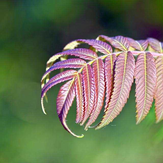 """""""Purple Leaves"""" stock image"""
