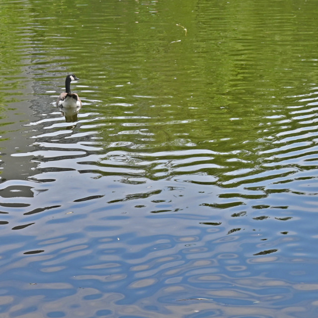 """""""Goose in a Pond"""" stock image"""