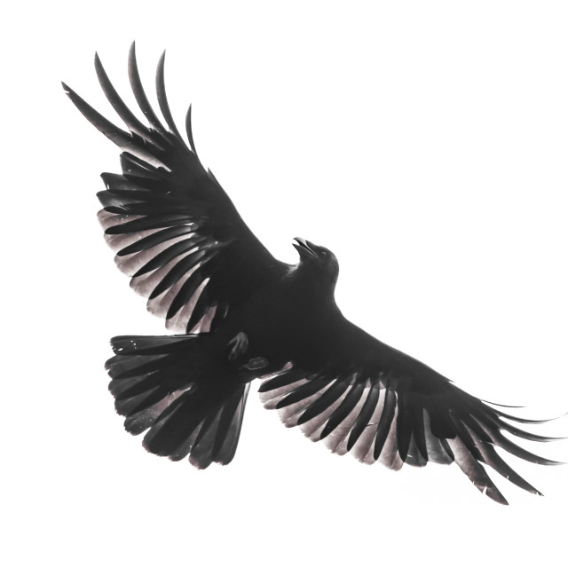 """""""Isolated crow in flight with fully open wings"""" stock image"""