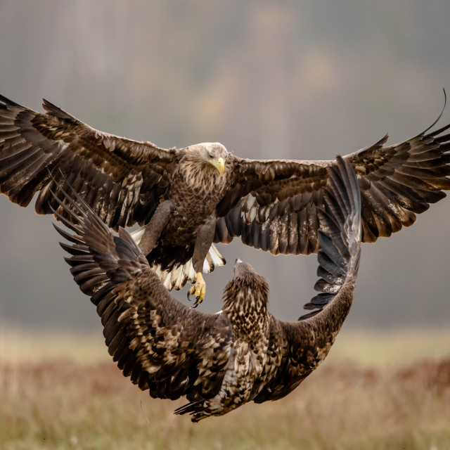"""""""Fighting isolated white tailed eagles in flight"""" stock image"""