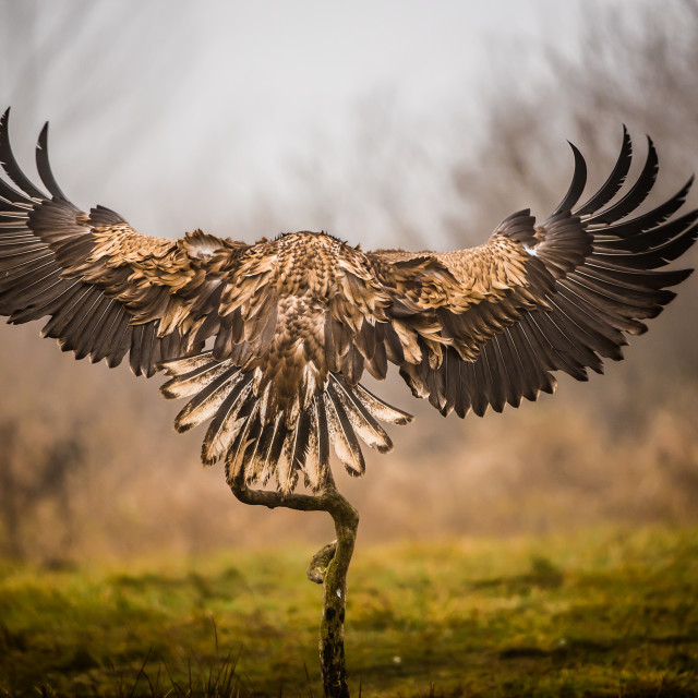 """""""Isolated white tailed eagle in flight"""" stock image"""