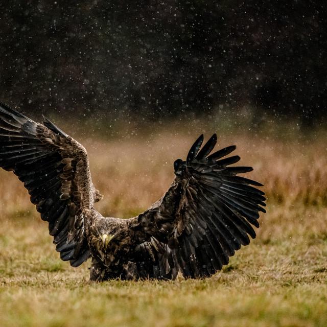 """Isolated white tailed eagle rising"" stock image"