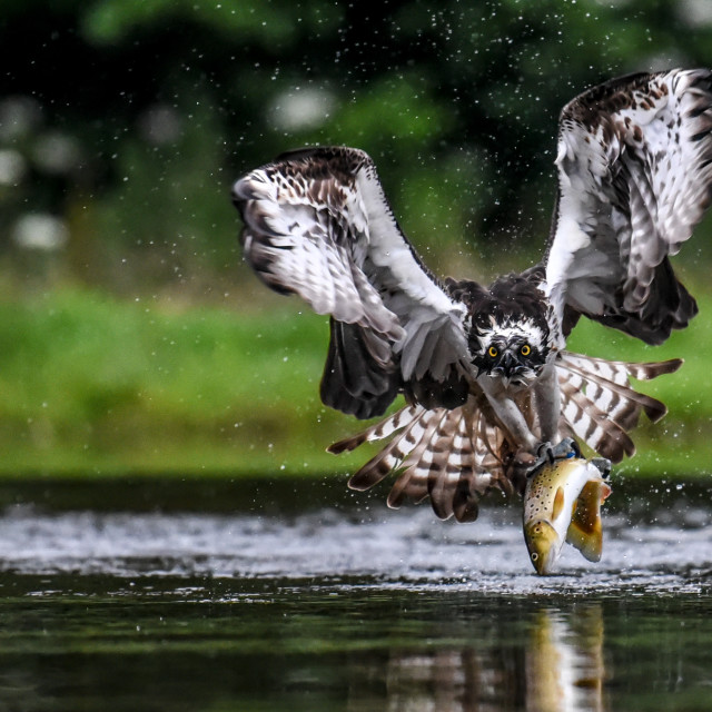 """""""Isolated osprey in flight with catch and fully open wings"""" stock image"""