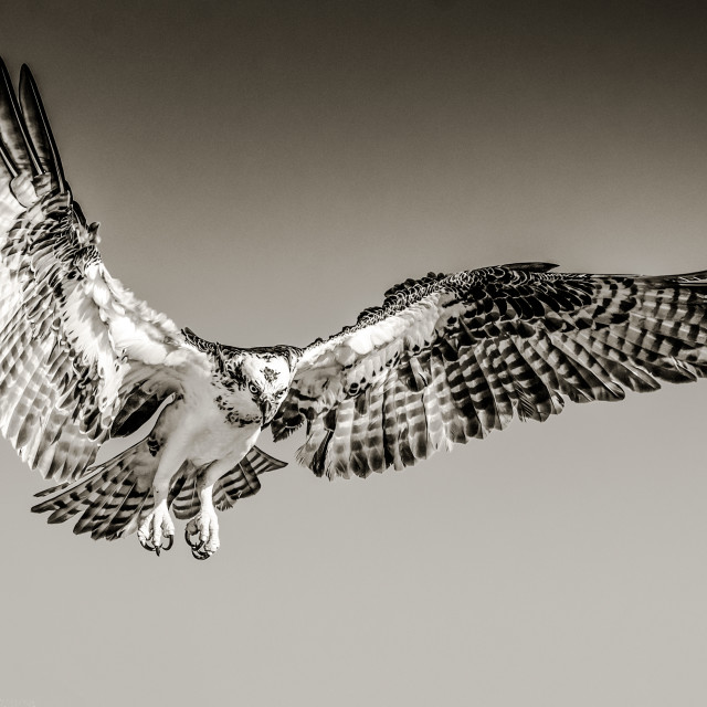 """""""Isolated osprey in flight with fully open wings in black and grey"""" stock image"""