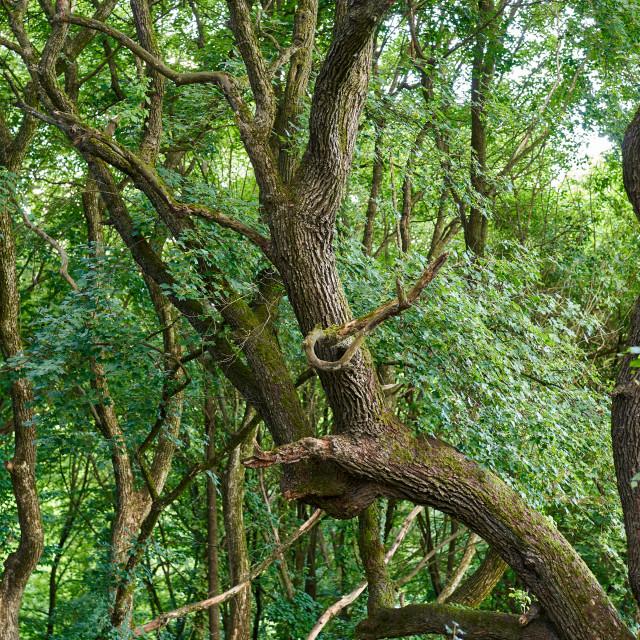 """Twisted oak trees"" stock image"