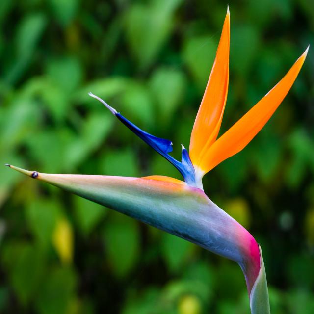 """Bird Of Paradise Plant (Strelitzia)"" stock image"