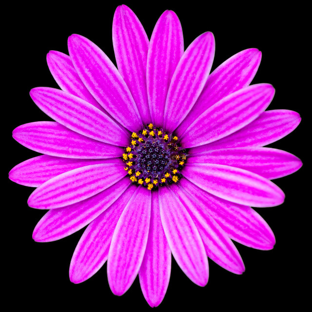 """African Daisy (Osteospermun)"" stock image"