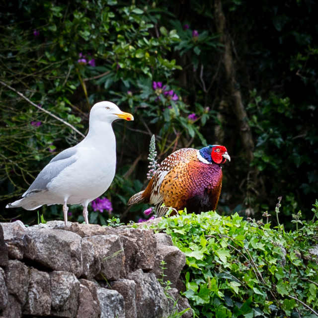 """""""Pheasant and Seagull"""" stock image"""